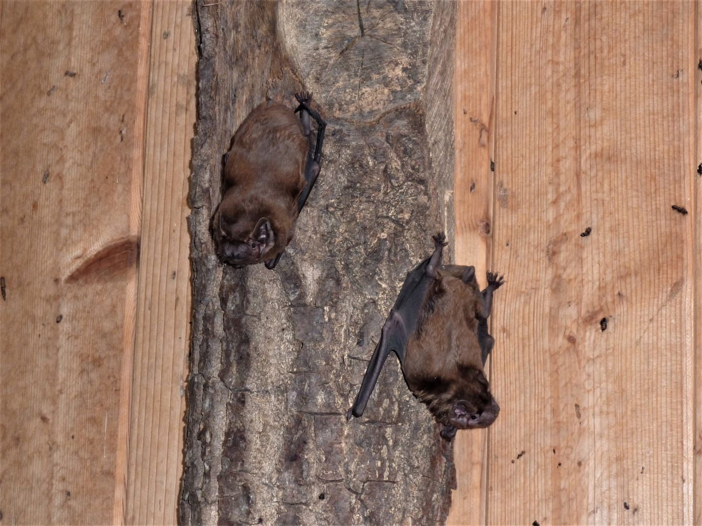 das Foto zeigt zwei Große Abendsegler // the photo shows two Nyctalus noctula