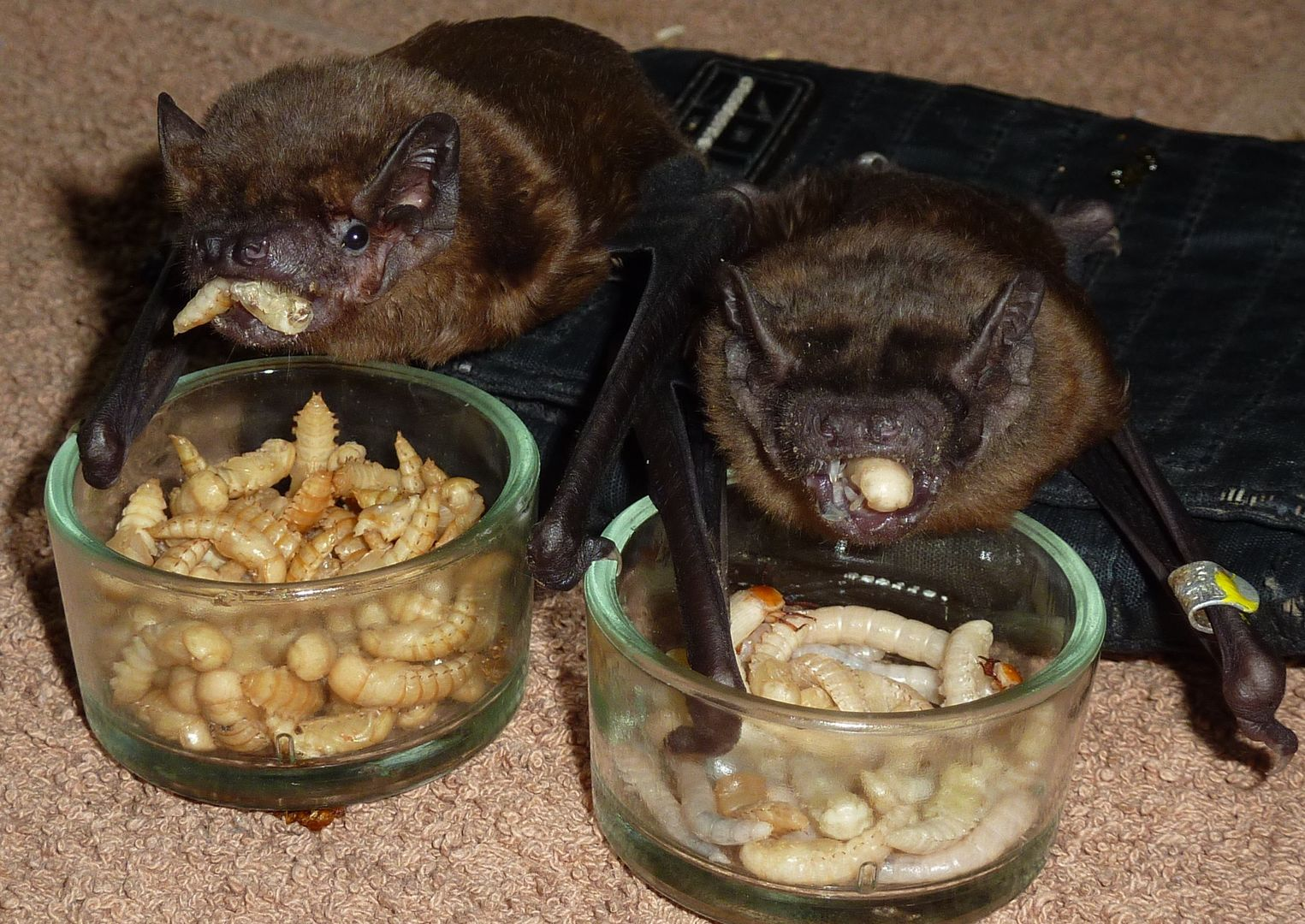 das Foto zeigt zwei Große Abendseglerinnen beim Essen // the photo shows two female nyctalus noctula while eating