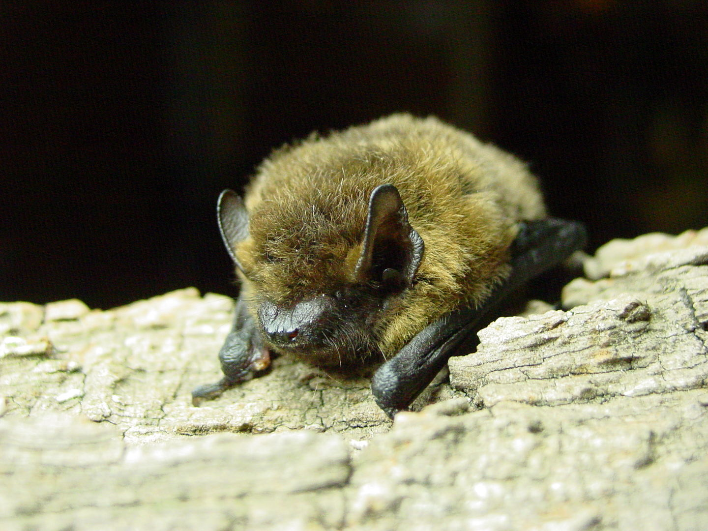 Das Foto zeigt eine Zwergfledermaus // the photo shows a Pipistrellus pipistrellus