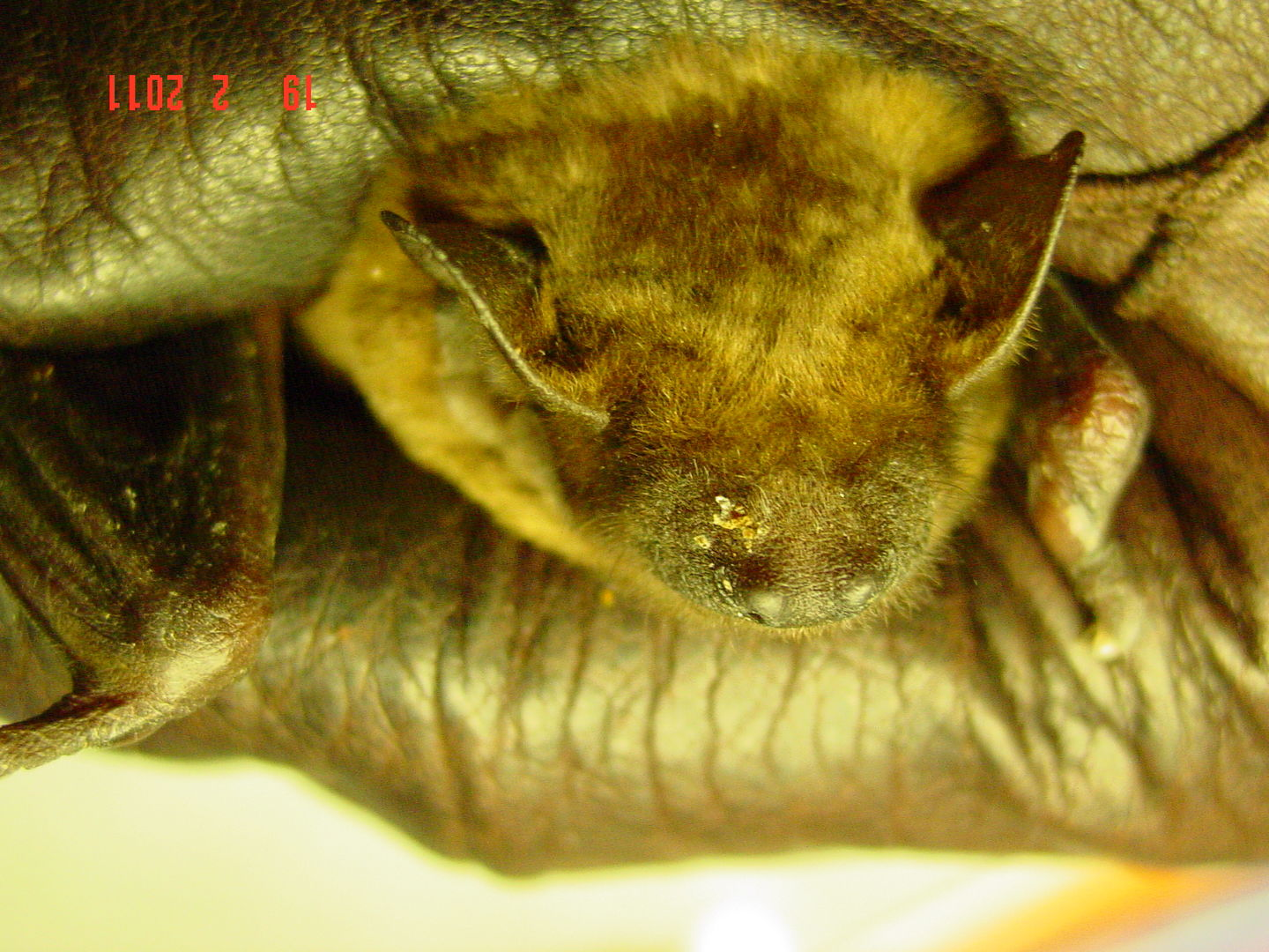 das Foto zeigt das verletzte Gesucht eines Großen Abendseglers. DAs Tier ist mittlerweile wieder gesund. The photo shows a Nyctalus noctula with face injury. The bat now is health again.
