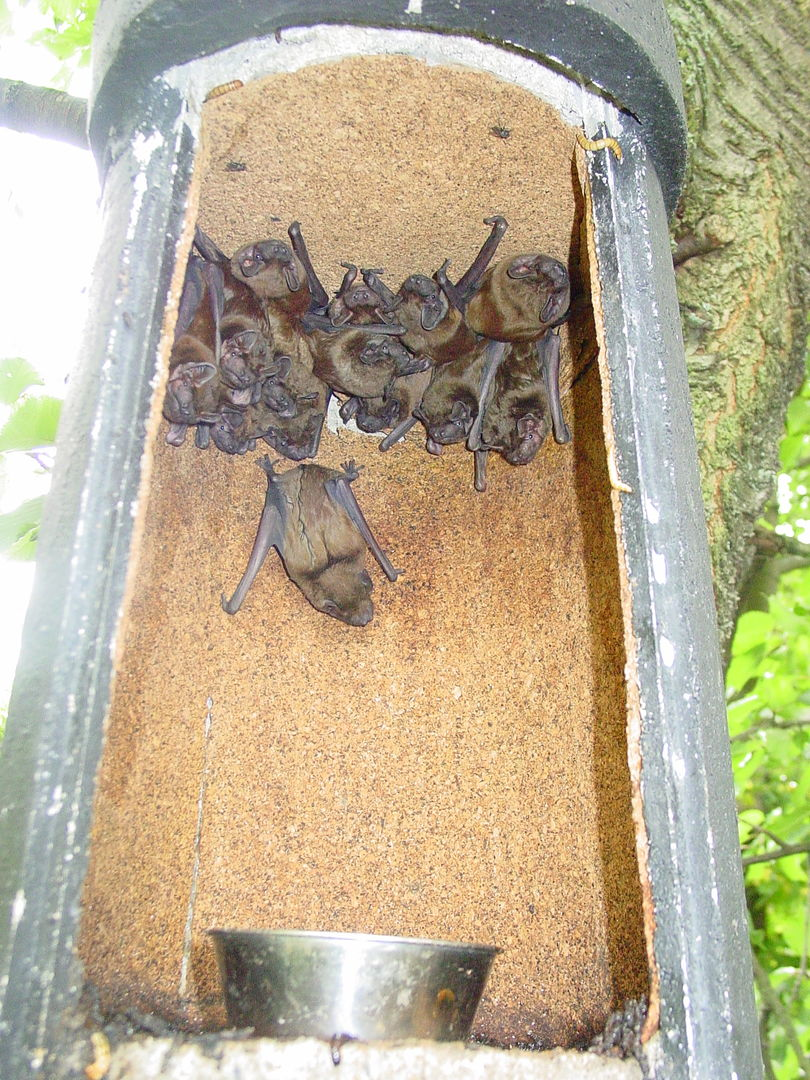 das Foto zeigt eine Gruppe Großer Abendsegler im Winterkasten // the ohoto shows a group of nyctalus noctula in a Winter bat box