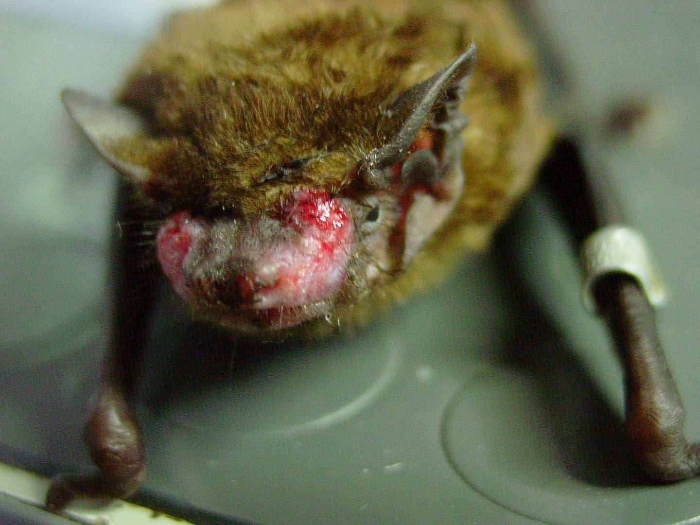 DAs Foto zeigt eine Gesichtsverletzung bei einem Großen Abendsegler nach Baumfällung / the photo shows a nyctalus noctula with a face injury after tree felling