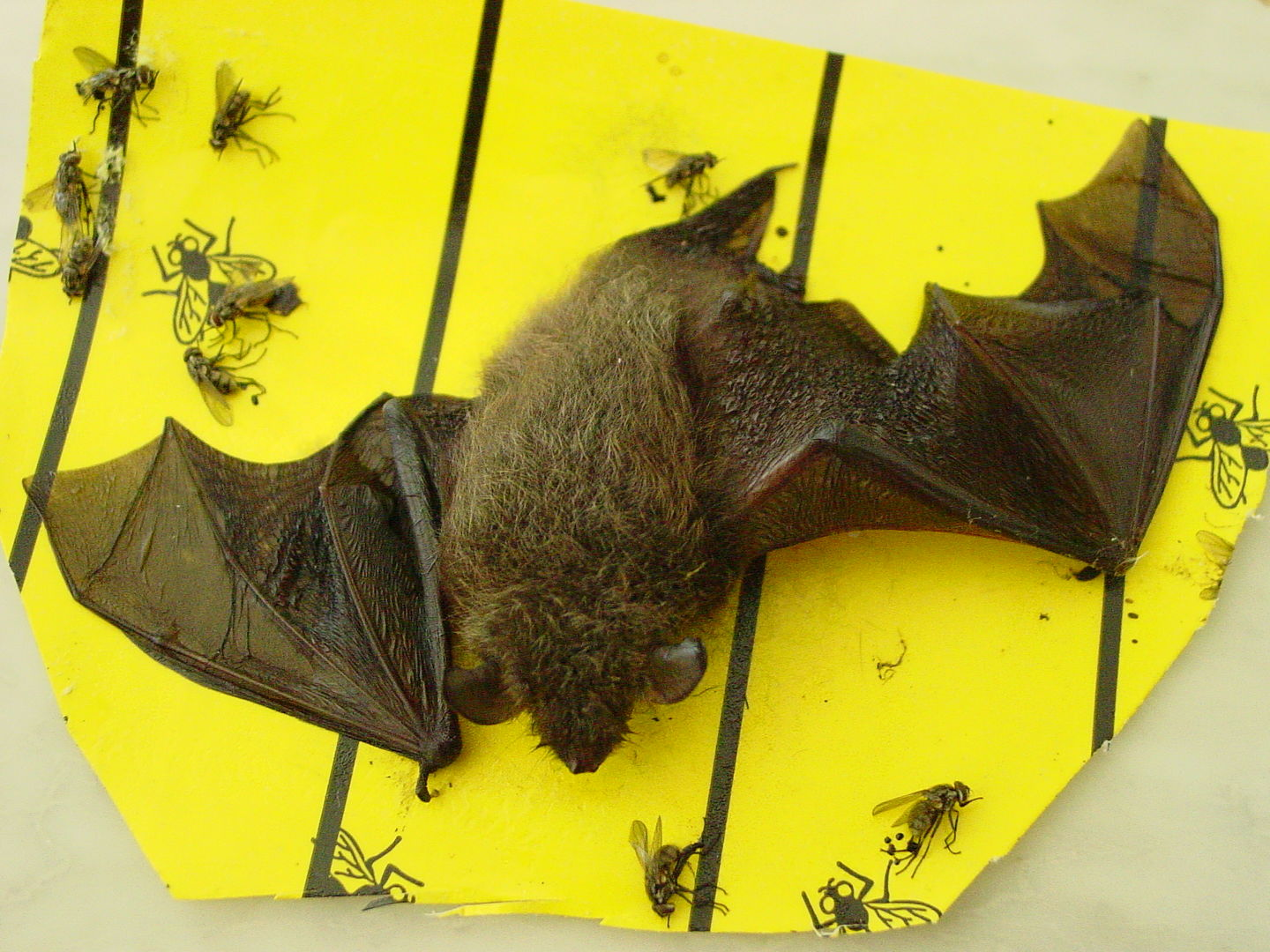 Das Foto zeigt eine Klebefalle mit einer festgeklebten Fledermaus. Das Tier konnte gerettet werden. // The photo shows a glue trap with a stuck-on bat. The animal was saved.