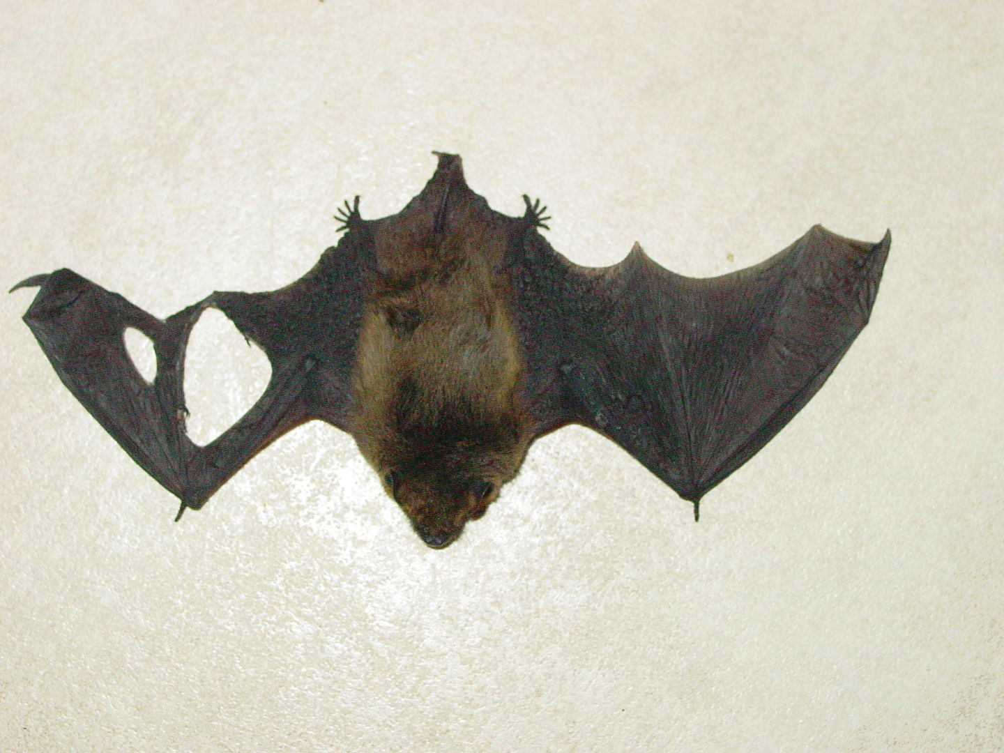 das Foto zeigt eine Fledermaus mit Flügelverletzung // the photo shows a bat with an injured wing