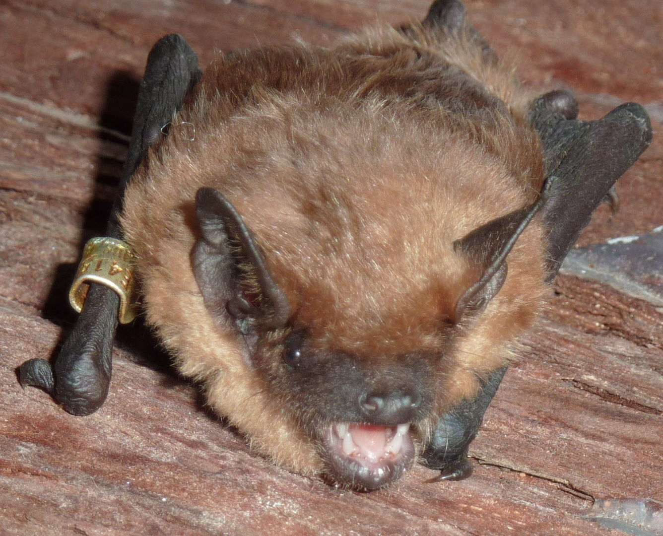 Das Foto zeigt eine Breitflügelfledermaus // the photo shows a Eptesicus serotinus