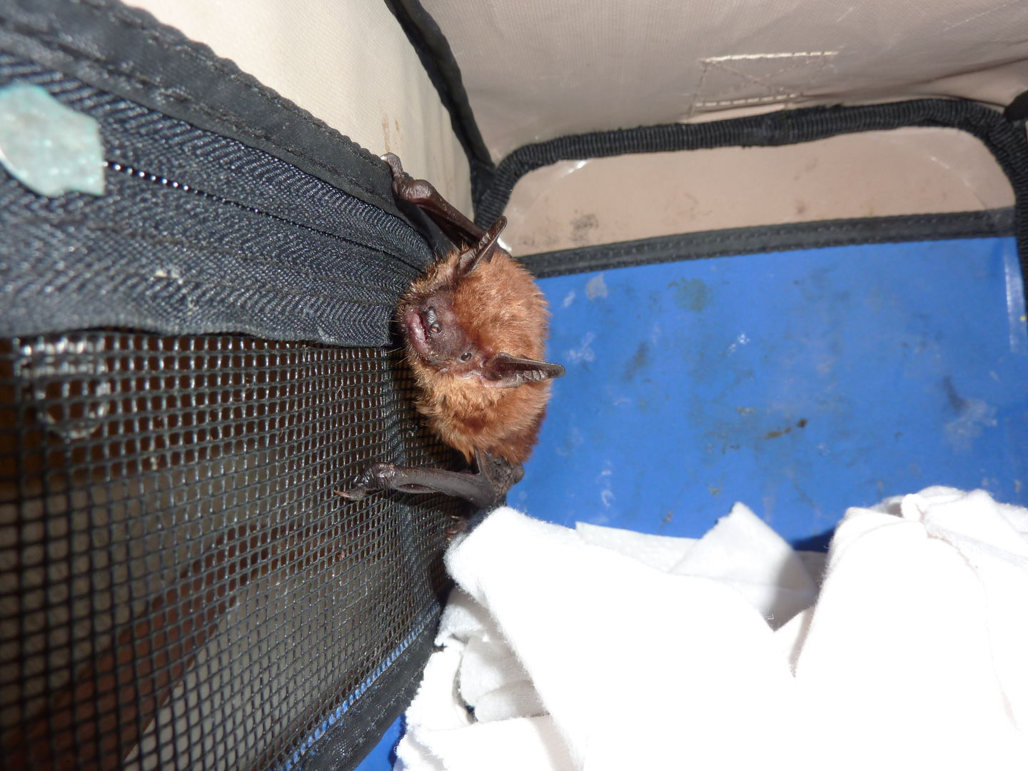 Das Foto zeigt eine Breitflügelfledermaus in einer Transportbox auf dem Weg in die Freiheit // the photo shows an Eptesicus serotinus in a transport box on her way to freedom