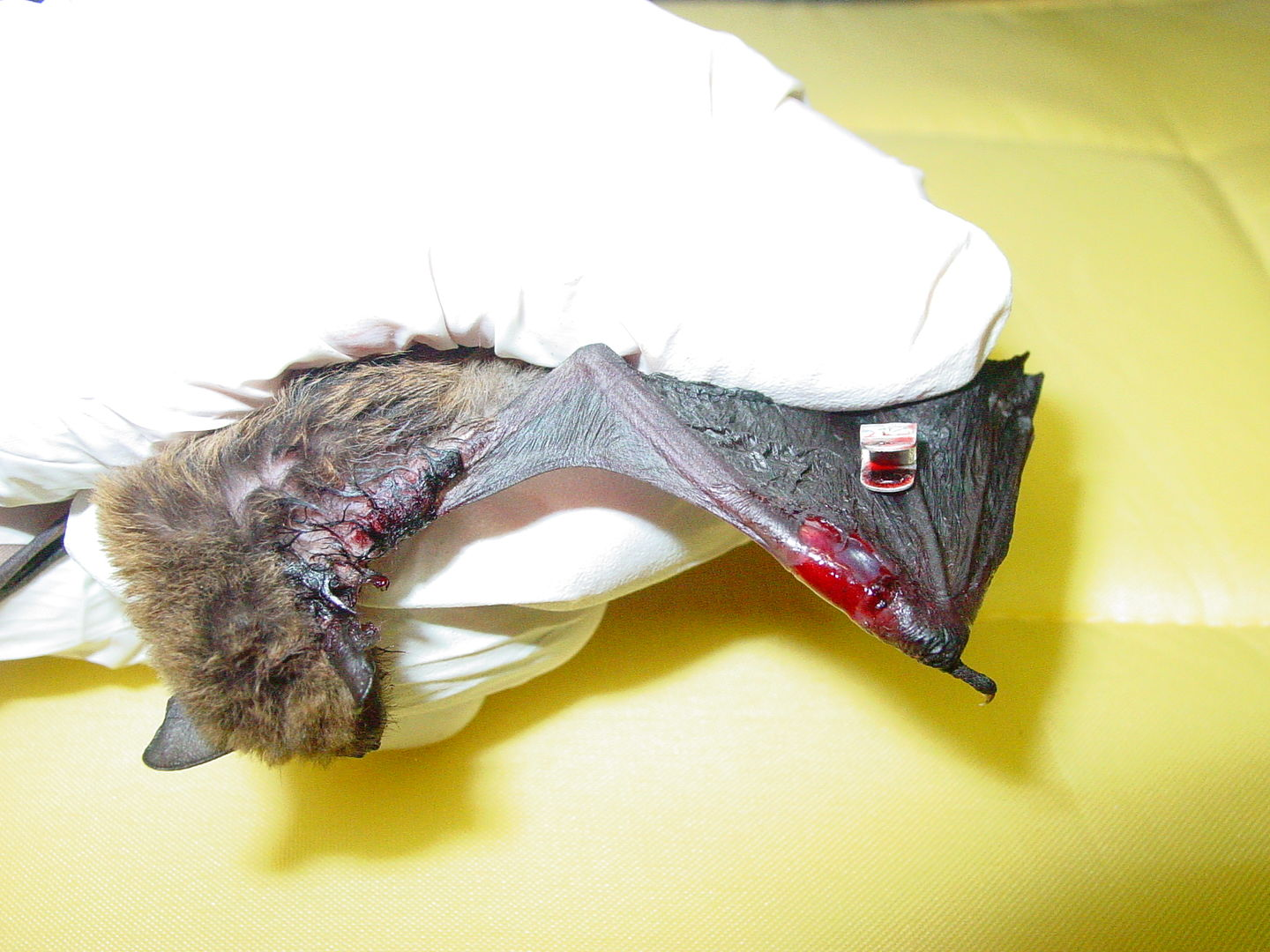 Das Foto zeigt eine Fledermaus mit einer Ringverletzung am Flügel. Diese Verletzungen entstehen, wenn wildlebende Fledermäuse beringt werden. // The photo shows a bat with a ring injury on the wing. These injuries occur when ringing wild bats.