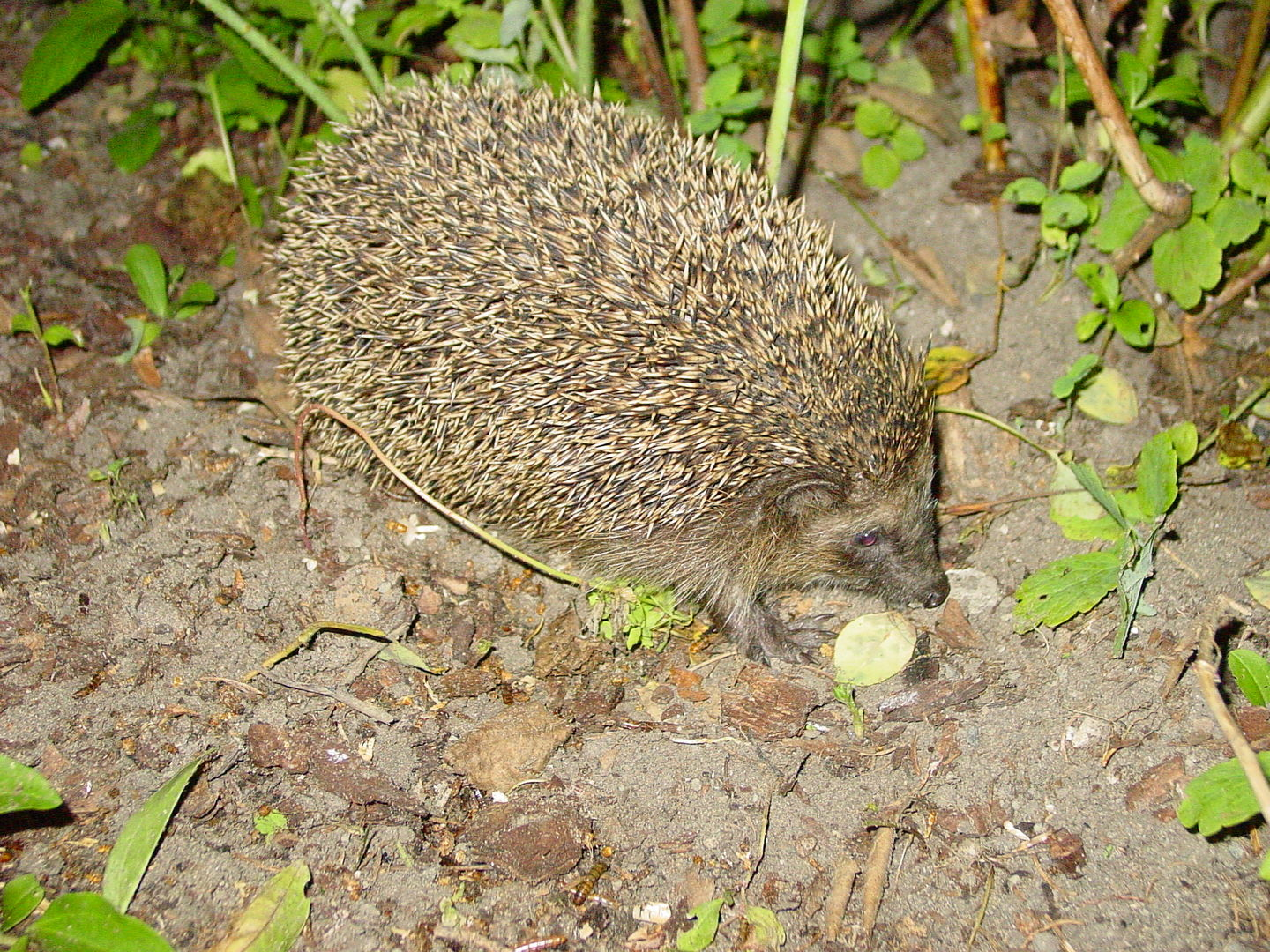 Das Foto zeigt einen erwachsenen Igel im Garten // the photo shows an adult hedgehog in the garden