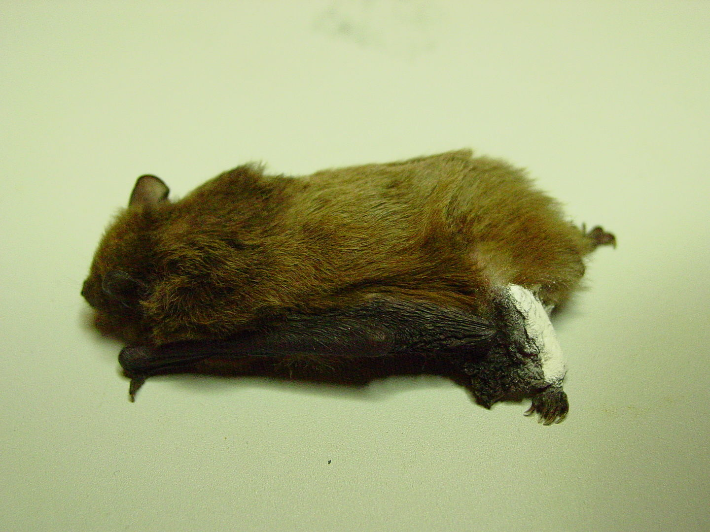 Das Foto zeigt eine Fledermaus mit Hinterbeinschiene, die beim Umstapeln eines Kaminholzstapels verletzt wurde. // The photo shows a bat with a hind leg splint injured while stacking a firewood stack.