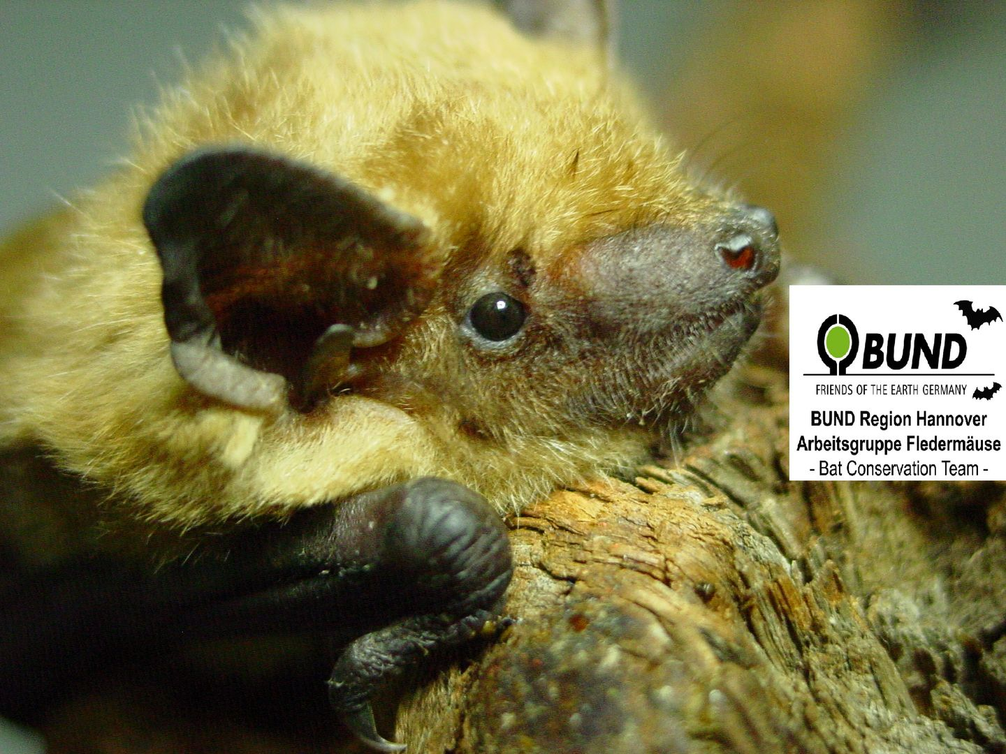Logo AG Fledermäuse BUND Region Hannover // the picture shows the logo Bat Conservation Team Friends of the Earth Germany Hannover - eine Fledermaus im Porträt mit dem BUND Logo ein grüner Erdball im halboffenen schwarzen Kreis. A bat in profile with the international BUND logo a green ball in a half open black circle