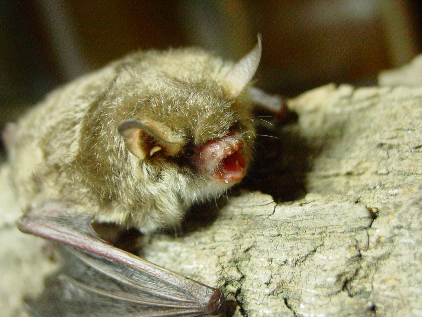Das Foto zeigt eine Fransenfledermaus The photo shows a Myotis nattereri