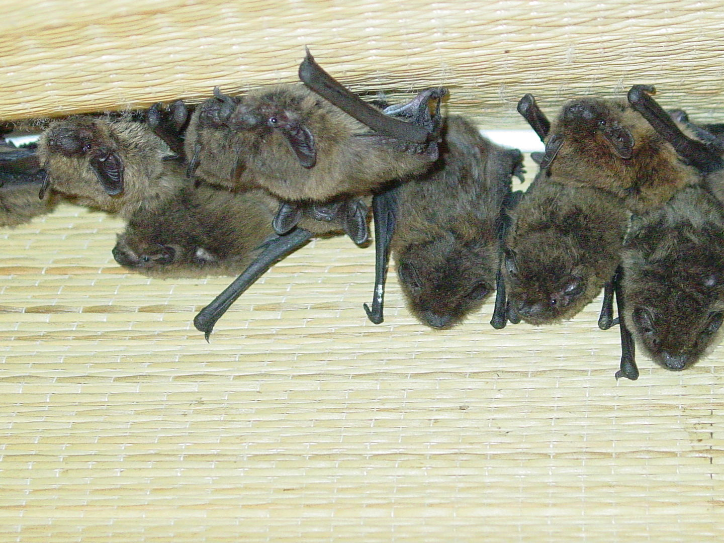Das Bild zeigt eine Gruppe von Zwergfledermäusen im Quartier. Die Tiere hängen dicht zusammen. The picture shows a group of Pipistrellus pipistrellus in the quarter. The animals are close together.