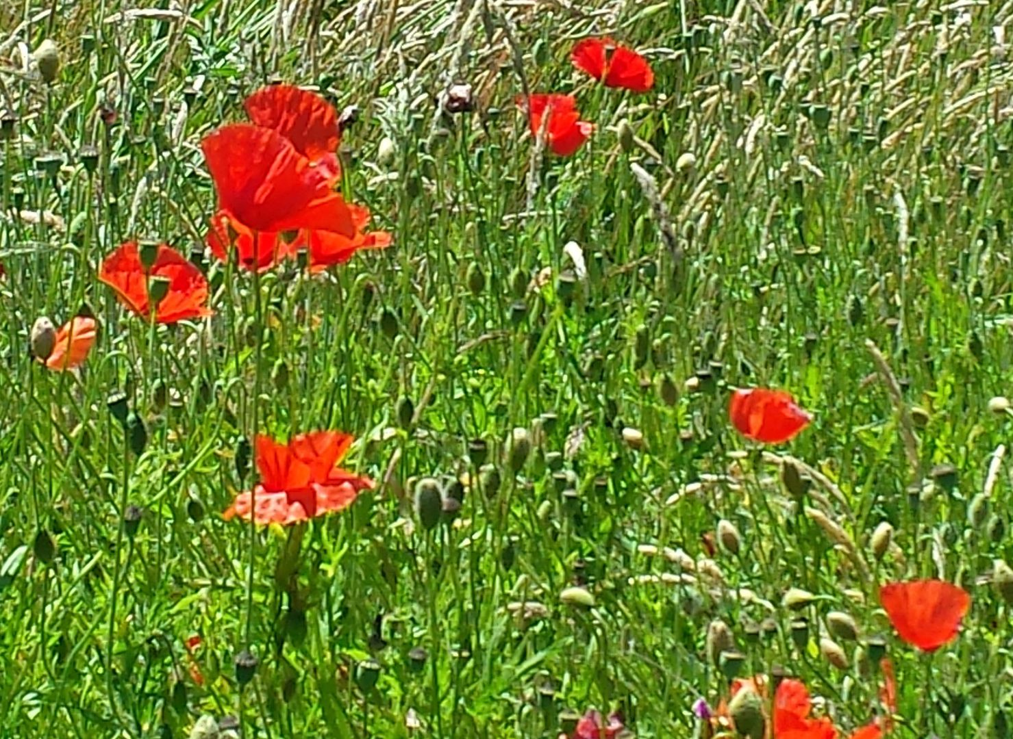 Das Foto zeigt eine Wiese mit rotem Mohn // the photo schows a meadow with red poppy