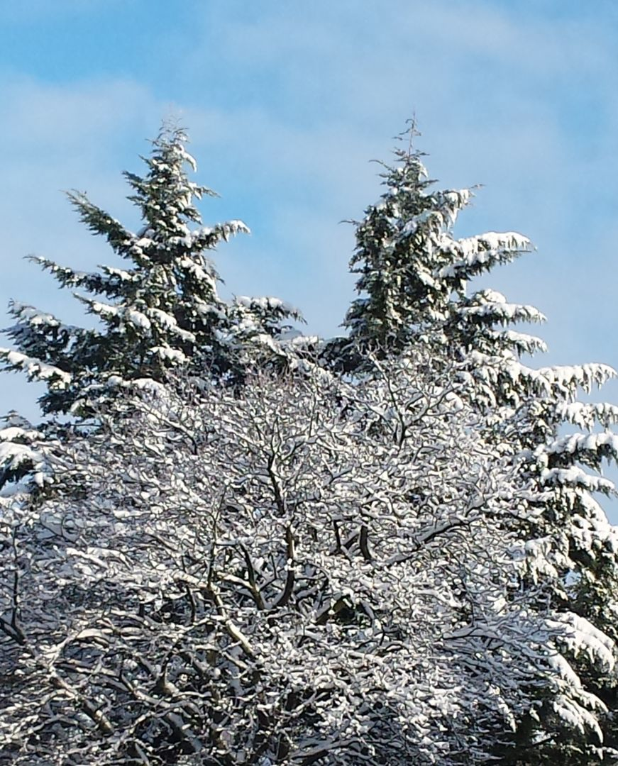 Das Bild zeigt Bäume im Winter mit Schnee bedeckt. //  50/5000 The picture shows trees covered with snow in Winter.