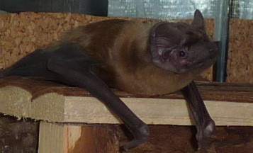 Großer Abendsegler subadult Das Gesicht ist deutlich schmaler als bei einem erwachsenen Tier. Subadult nyctalus noctula, the face is slimer than with an adult bat.