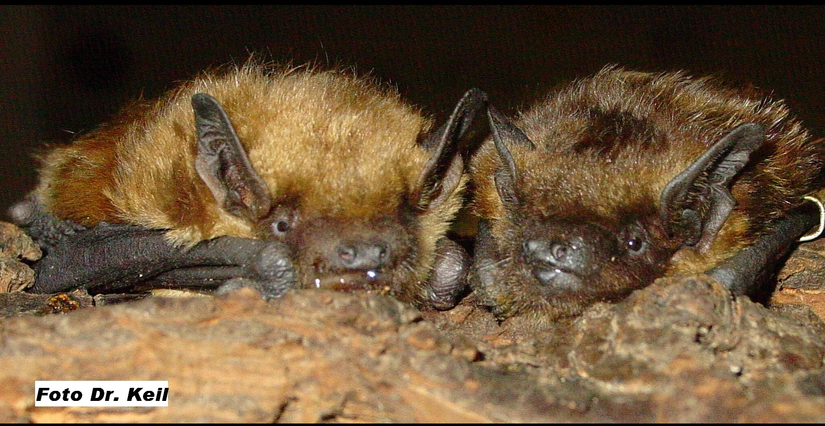 Das Foto zeigt zwei Breitflügelfledermäuse Eptesicus serotinus // The photo shows two bats Eptesicus serotinus