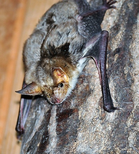 Das Foto zeigt ein Großes Mausohr // the photo shows a Myotis myotis