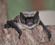 Das Foto zeigt eine Zweifarbfledermaus Vespertilio murinus, sie hat zwei unterschiedliche Fellfarben hellgrau und dunkelgrau // The photo shows a bicolor bat Vespertilio murinus, it has two different coat colors light gray and dark gray